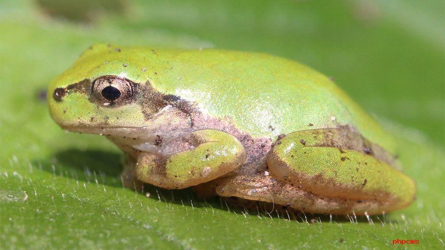 看傻眼!青蛙呕吐时会把胃吐出来,然后还能吞回去