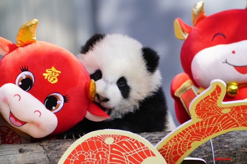 2020级熊猫宝宝集体亮相贺新春。李传有摄